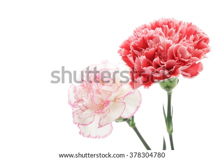 Red and pink carnations isolated on white background