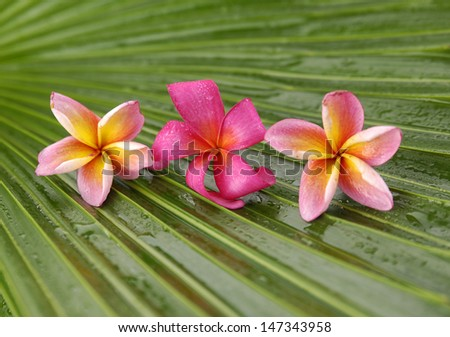 red and pink frangipani flowers and palm leaf texture - stock photo