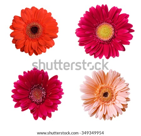 Red and pink gerbera Isolated on white background  - stock photo