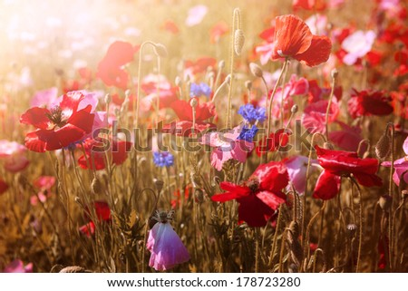 Red and pink poppies with wildflowers in sunny summer meadow - stock photo