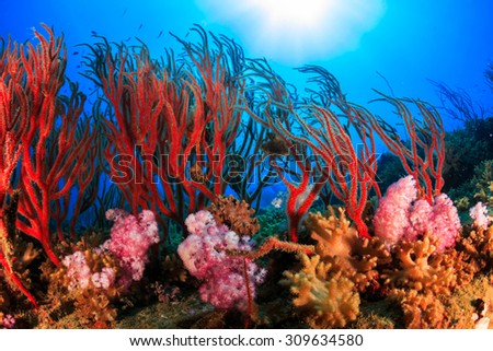 Red and pink soft coral, diving at shark island near Koh Tao in Thailand