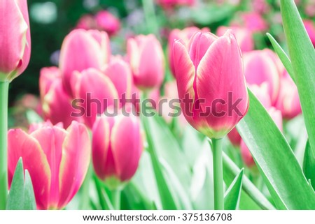 Red and pink tulips blooming in the flower garden. - stock photo