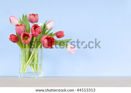 red and pink tulips in a vase - blue background and room for copy