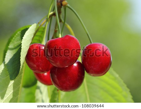 Red and sweet cherries on a branch just before harvest in early summer - stock photo