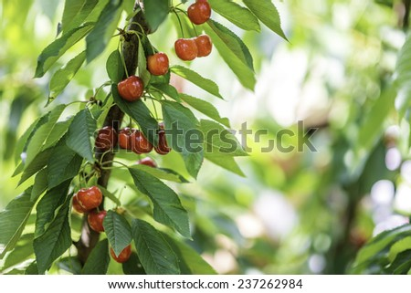 Red and sweet cherries on a branch just before harvest in early summer Australia - stock photo