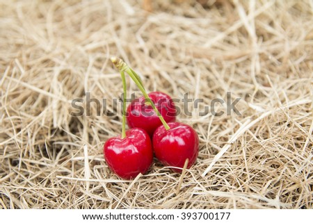 Red and sweet cherries on the straw, cherry farm.