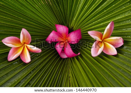 Red and two pink frangipani on palm texture - stock photo