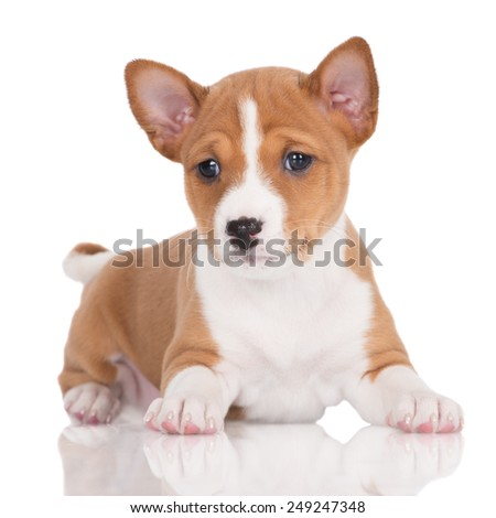 red and white basenji puppy lying down