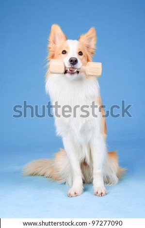Red and white border collie in studio, training dog (aport) - stock photo