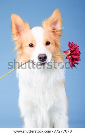 Red and white border collie portrait in studio, trick with flower - stock photo