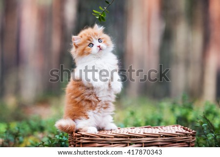 red and white british longhair kitten posing outdoors