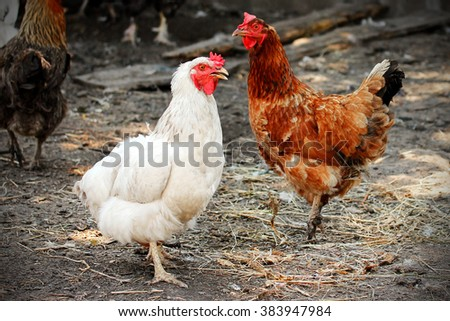 Red and white chicken in a hen house - stock photo