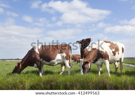 red and white cows in green grassy dutch meadow under blue sky with clouds