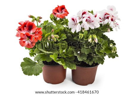 Red and white English geranium with buds in flowerpot isolated on white background - stock photo