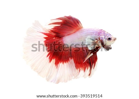 red and white fighting fish