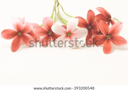 Red and White flower name Rangoon creeper or Chinese honey Suckle copy space in vintage tone background. - stock photo