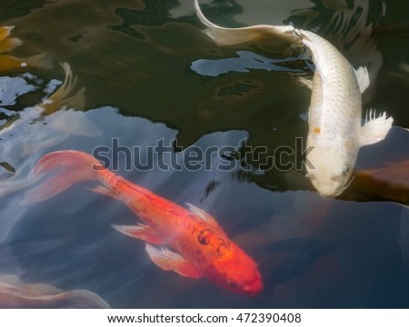 Koi pond stock images royalty free images vectors for Red koi carp
