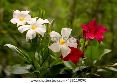 Red and white Mandevilla in a pot