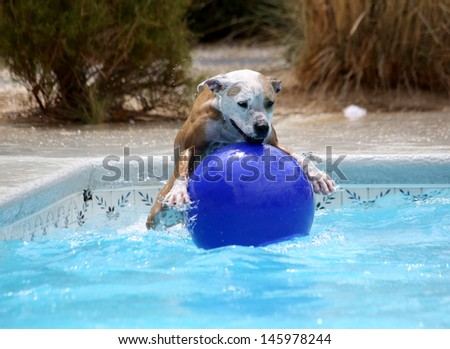 Red and White Pitbull jumping on top of a ball in the pool - stock photo