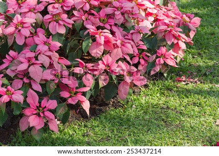 red and white poinsettia tree in garden - stock photo
