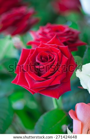 Red and white roses in garden