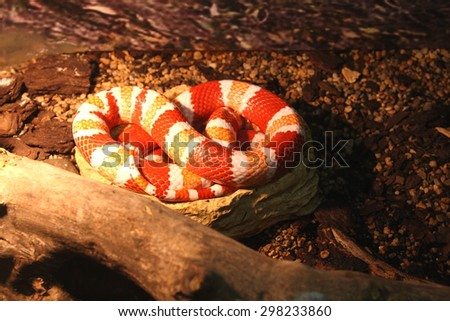 Red and white snake sleeping in the cage at the exhibition of reptiles - stock photo