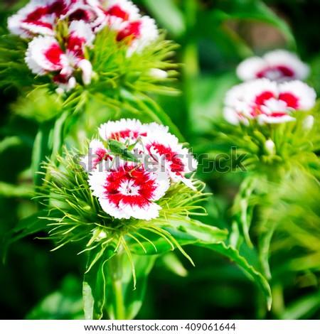 Red and white summer flower. Phlox drummondii flowering in garden. - stock photo