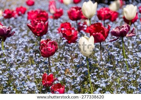 Red And White Tulips Garden In Spring - stock photo