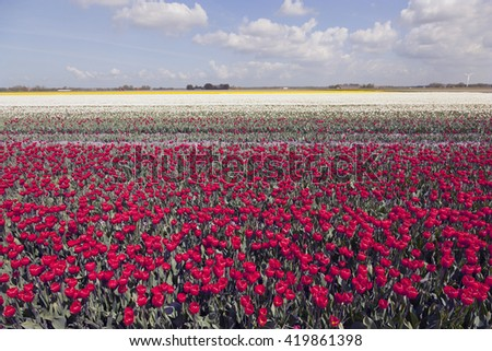 red and white tulips in colorful landscape of dutch noordoostpolder with blue sky - stock photo
