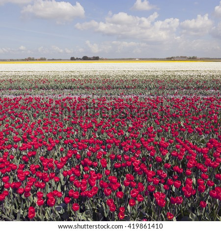 red and white tulips in colorful landscape of dutch noordoostpolder with blue sky and clouds - stock photo