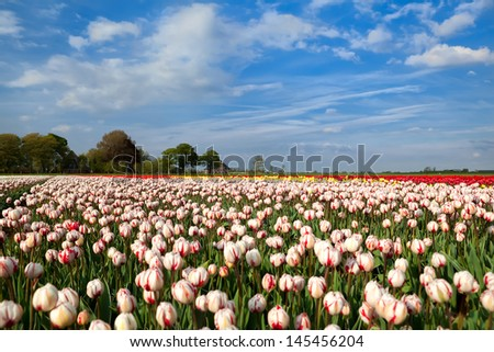 red and white tulips on Dutch spring fields, Alkmaar, North Holland - stock photo