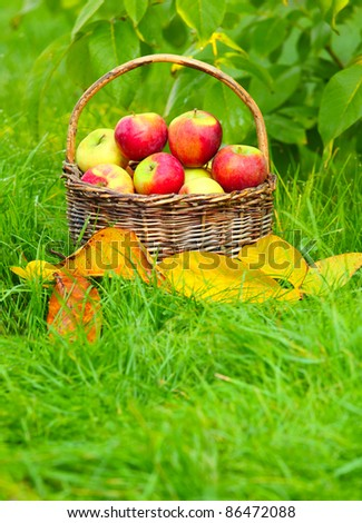 Red and yellow apples in the basket - Autumn at the rural garden. Close up with shallow DOF.