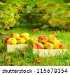 Red and yellow apples in the wooden box. Autumn at the Bio garden. - stock photo