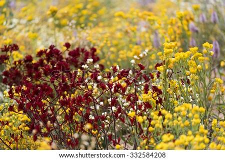 Red and yellow Australian wildflowers - stock photo