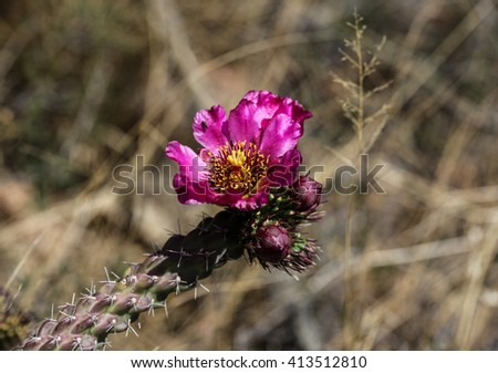 Red and yellow center of magenta desert cactus flower on stalk/Burgundy, yellow and red Center of Dark Pink Desert Bloom on Spiny Cactus Cane/Red, yellow, burgundy flower center of desert cactus - stock photo
