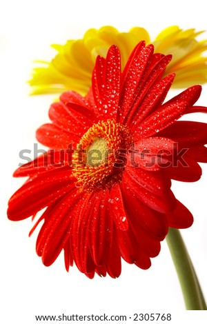 Red and yellow flower on a white background... - stock photo