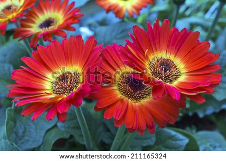 Red and yellow gerbera daisies flowers. - stock photo