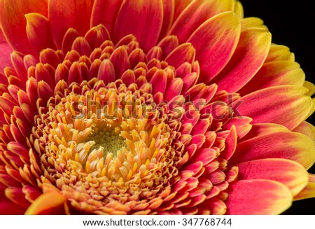 Red and yellow gerbera flower on a black background - stock photo