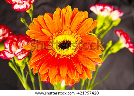 red and yellow gerbera flowers in studio ,black background ,close up ,amazing   ,nature, red and white carnations ,petals ,red petals ,orange, carnations flowers, red and white carnation