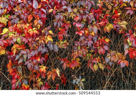 Red and yellow ivy creeper on house fence wall