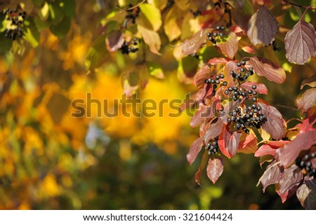 Red and yellow leaves and black berries in autumn / selective fo - stock photo