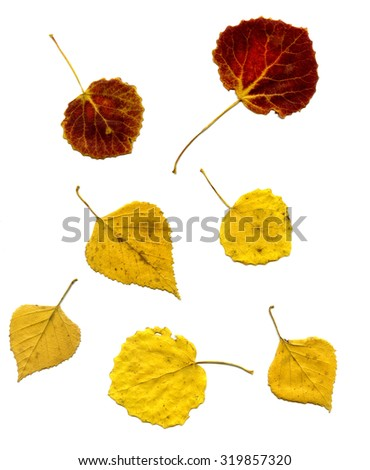 red and yellow leaves of a birch and aspen. autumn the leaves isolated on a white background - stock photo