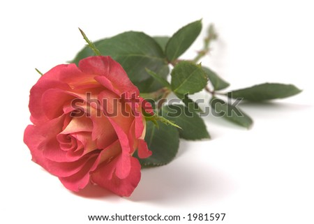 Red and Yellow Rose on isolated white background