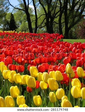 Red and yellow spring tulips in park garden sunlight - stock photo