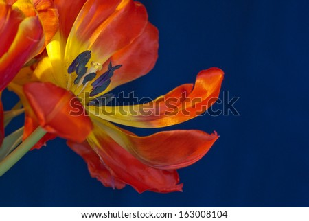 Red and yellow tulip against a blue background. - stock photo