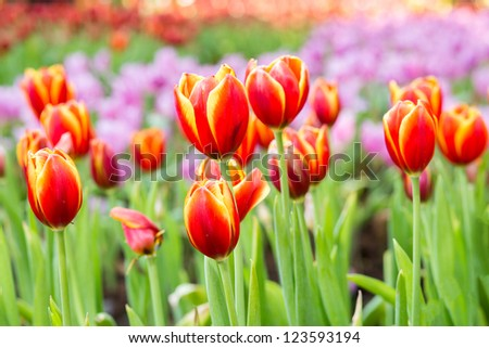 Red and yellow tulip flower field - stock photo