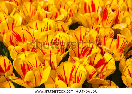 red and yellow tulips flowers greens background photo