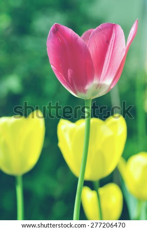 Red and yellow tulips in the garden, blue vintage filter - stock photo