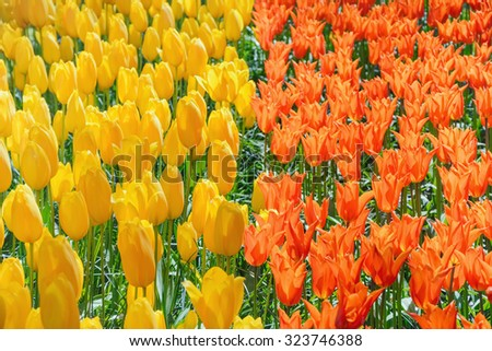 Red and Yellow Tulips (Shallow DoF) - stock photo