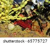 red anemone in a tide pool in australia together with algae and snails - stock photo